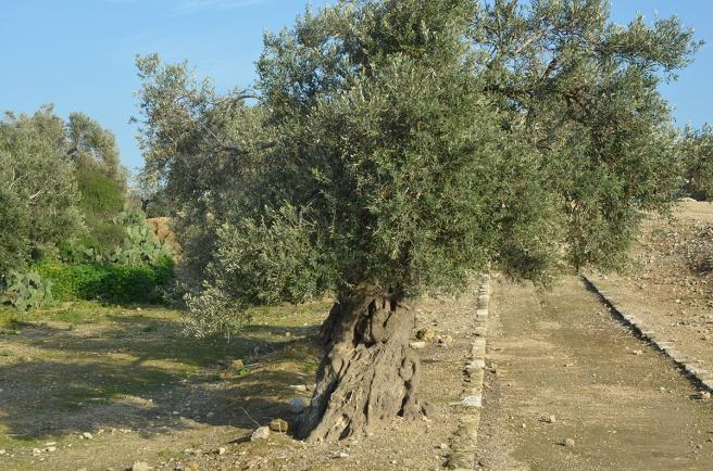 עץ בצד הדרך, ציפורי העתיקה, מרץ 2012