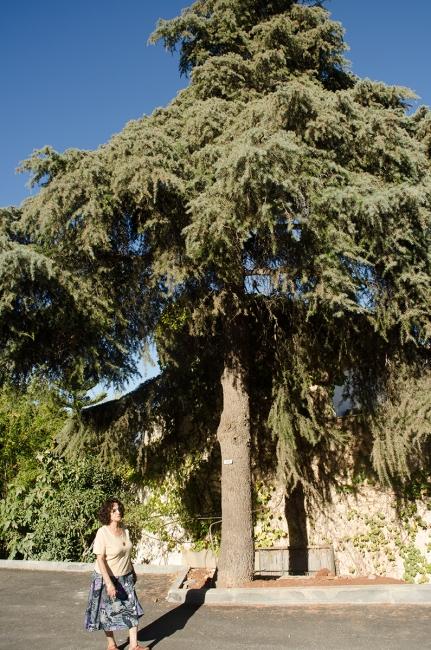 עץ מספר 100 - ארז הלבנון, ודודה נעמי. מלכיה, ספטמבר 2013