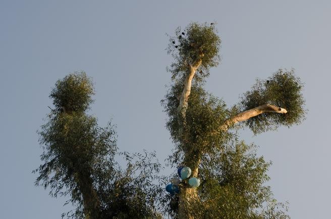 אקליפטוסים, חצי שנה לאחר גיזום, ינואר 2014, גן כרונינגן ביפו