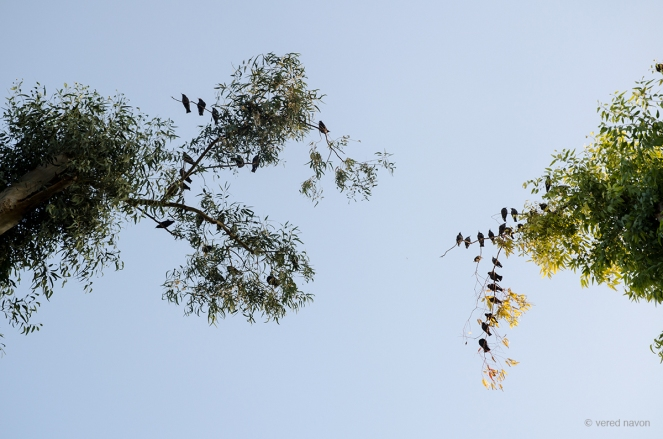 זרזירים על אקליפטוסים, ינואר 2014, גן כרונינגן, יפו