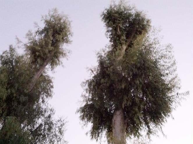 אקליפטוס, גן כרונינגן, יפו, כמה חודשים לאחר גיזום מאסיבי.